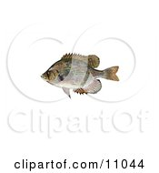 Clipart Illustration Of A Flier Fish Centrarchus Macropterus by JVPD