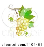 White Winery Grapes With Leaves And Tendrils