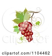 Red Winery Grapes With Leaves And Tendrils