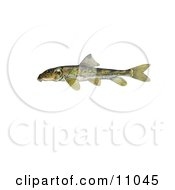 Clipart Illustration Of A Northern Hogsucker Fish Hypentelium Nigricans by JVPD