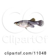 Clipart Illustration Of A Freshwater Mosquitofish Gambusia Affinis by JVPD