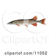 Clipart Illustration Of A Redfin Pickerel Fish Esox Americanus Americanus by JVPD