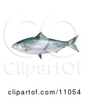 Clipart Illustration Of An Alabama Shad Fish Alosa Alabamae by JVPD