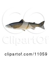 Clipart Illustration Of An Atlantic Salmon Salmo Salar by JVPD
