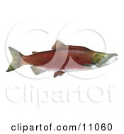 Clipart Illustration Of A Sockeye Salmon Fish Oncorhynchus Nerka by JVPD