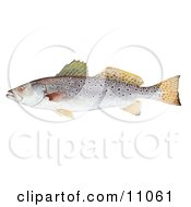 Clipart Illustration Of A Spotted Seatrout Fish Cynoscion Nebulosus by JVPD