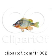 Clipart Illustration Of An Orangespotted Sunfish Lepomis Humilis by JVPD