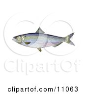 Clipart Illustration Of A Blueback Herring Fish Alosa Aestivalis by JVPD