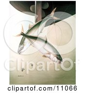 Clipart Illustration Of Yellowtail Fish Seriola Lalandei Swimming After Hooks Under A Boat