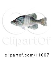 Clipart Illustration Of A White Crappie Fish Pomoxis Annularis by JVPD