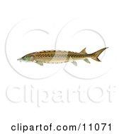 Clipart Illustration Of A Shortnose Sturgeon Fish Acipenser Brevirostrum
