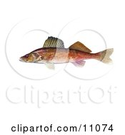 Clipart Illustration Of A Walleye Fish Stizostedion Canadense by JVPD #COLLC11074-0002