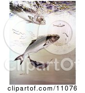 Clipart Illustration Of Bluefish Chasing And Feeding Off Of Smaller Fish