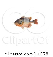 Clipart Illustration Of A Redbreast Sunfish Lepomis Auritus