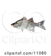 Clipart Illustration Of A White Or Sand Bass Fish Morone Chrysops