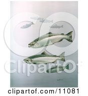 Clipart Illustration Of King Salmon Fish Swimming In Blue Waters