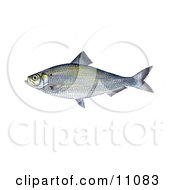 Clipart Illustration Of An Alewife Shad Fish Alosa Pseudoharengus