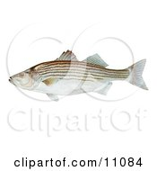 Clipart Illustration Of A Striped Bass Fish Morone Saxatilis by JVPD