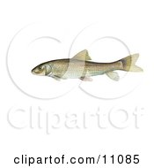 Clipart Illustration Of A Spotted Sucker Fish Minytrema Melanops