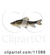 Clipart Illustration Of A Creek Chubsucker Fish Erimyzon Oblongus