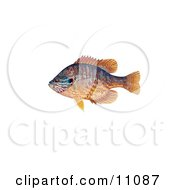 Clipart Illustration Of A Pumpkinseed Fish Lepomis Gibbosus by JVPD #COLLC11087-0002