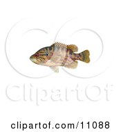 Clipart Illustration Of A Warmouth Fish Lepomis Gulosus