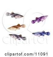 Clipart Illustration Of A Group Of Swimming A Mosquitofish Gambusia Affinis