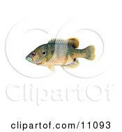 Clipart Illustration Of A Green Sunfish Lepomis Cyanellus