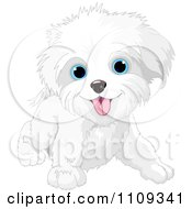Clipart Cute Playful Bichon Frise Or Maltese Puppy Dog Royalty Free Vector Illustration