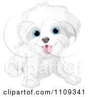 Cute Playful Bichon Frise Or Maltese Puppy Dog