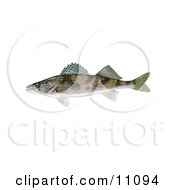 Clipart Illustration Of A Sauger Fish Stizostedion Canadense
