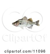 Clipart Illustration Of A White Perch Morone Chrysops