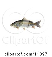 Clipart Illustration Of A Bigmouth Buffalo Fish Ictiobus Cyprinellus