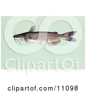 Clipart Illustration Of A Channel Catfish Ictalurus Punctalus by JVPD #COLLC11098-0002