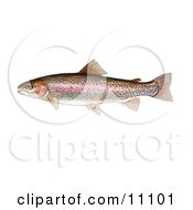 Clipart Illustration Of A Rainbow Trout Fish Oncorhynchus Mykiss by JVPD #COLLC11101-0002