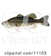 Clipart Illustration Of A Largemouth Bass Fish Micropterus Salmoides
