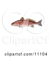 Clipart Illustration Of A Red Drum Fish Sciaenops Ocellata by JVPD