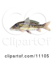 Clipart Illustration Of A Mirror Carp Fish Cyprinus Carpio