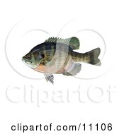 Clipart Illustration Of A Bluegill Fish Lepomis Macrochirus by JVPD #COLLC11106-0002