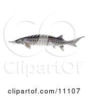 Clipart Illustration Of An Atlantic Sturgeon Fish Acipenser Oxyrhynchus