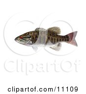 Clipart Illustration Of A Smallmouth Bass Fish Micropterus Dolomieu by JVPD #COLLC11109-0002