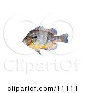 Clipart Illustration Of A Longear Sunfish Lepomis Megalotis