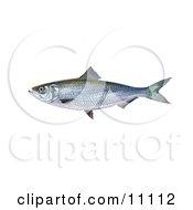 Clipart Illustration Of A Skipjack Herring Fish Alosa Chrysochloris