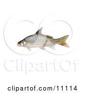 Clipart Illustration Of A River Carpsucker Fish Carpoides Carpio