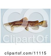 Clipart Illustration Of A Flathead Catfish Pylodictis Olivaris by JVPD #COLLC11115-0002
