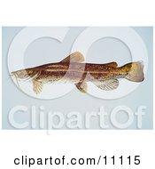 Clipart Illustration Of A Flathead Catfish Pylodictis Olivaris