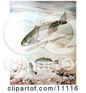 Clipart Illustration Of Channel Bass Fish Swimming