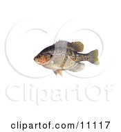 Clipart Illustration Of A Redear Sunfish Lepomis Microlophus