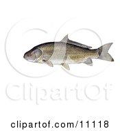Clipart Illustration Of A Black Buffalo Fish Ictiobus Niger