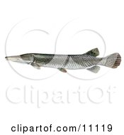 Clipart Illustration Of An Alligator Gar Fish Atractosteus Spathula by JVPD #COLLC11119-0002
